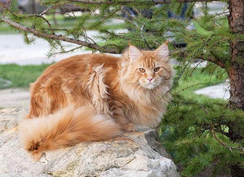 メインクーンってどんな猫? 歴史や体の特徴について