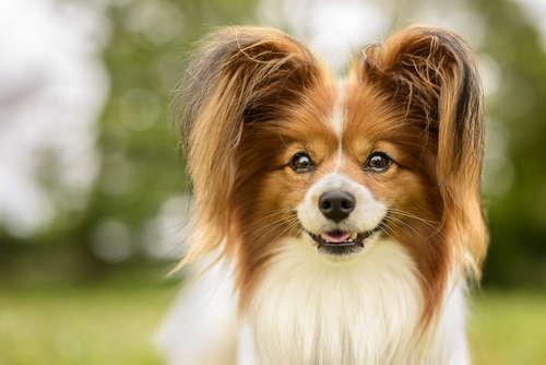大人気犬種・パピヨンの価格について