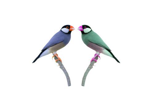 手乗りにもなっちゃう♫ カラー豊富な『文鳥』のお値段は?