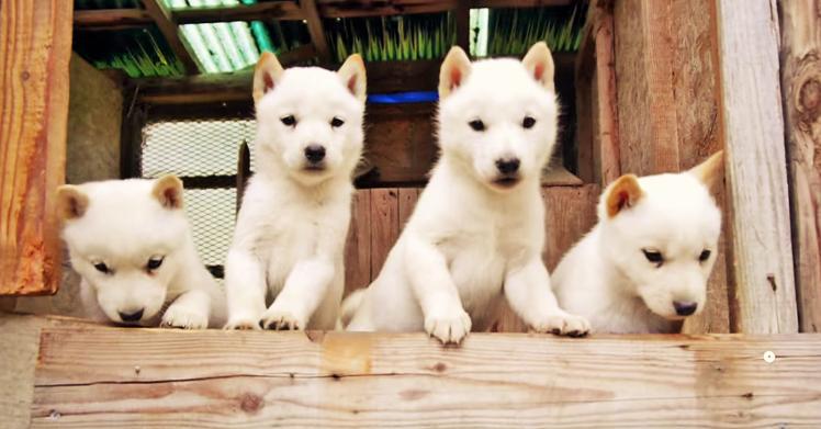 「これが外の世界・・!」 外が気になって仕方がない北海道犬の子犬たちがキュートです(´艸`*)