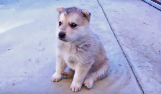 """子犬のハスキーくん、生まれて初めての""""遠吠え""""にチャレンジです♡"""