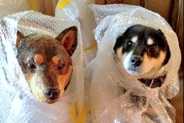【これ落ち着く♫】「プチプチ」が大好きな柴犬を、包んでみた結果…♡ (画像2枚)