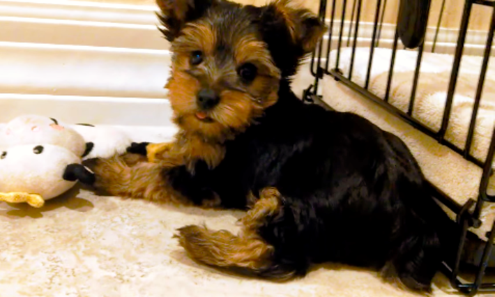 This Yorkshire Terrier Puppy Is Cute And Curious ♡