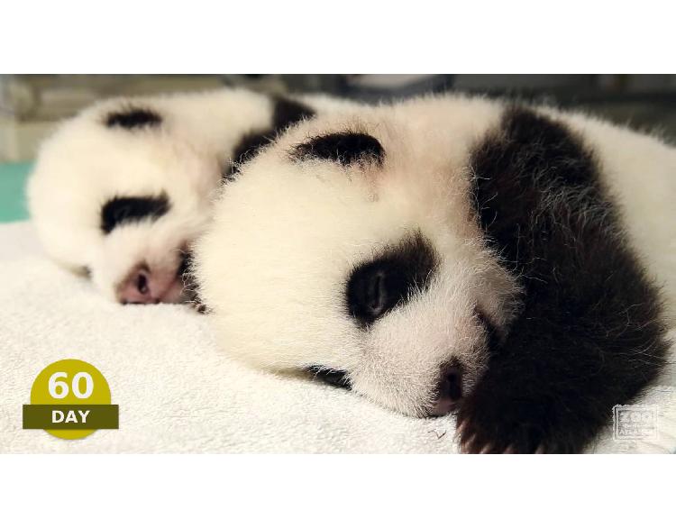 【双子赤ちゃんパンダ】100日間の成長記録に「命」を感じます…