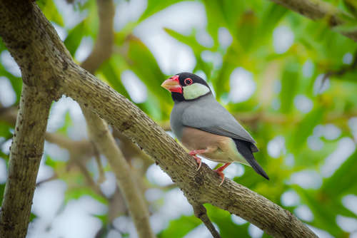 手乗り文鳥などの可愛い文鳥がたくさん! 文鳥カフェとは?