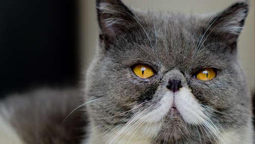 エキゾチックショートヘアってどんな猫? 歴史や体の特徴、性格、お手入れ方法は?