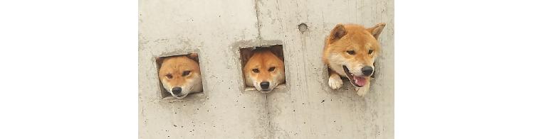 """【3匹の壁しば♡】柴犬たちが """"壁から生えてる"""" 謎の光景が、シュール可愛いと話題に…♪(3枚)"""