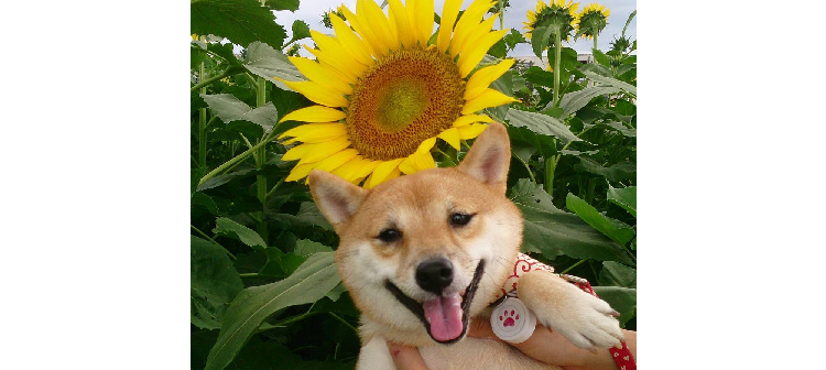 『夏ってカワイイ♡』ひまわりの花と、笑顔も満開! 向日葵とワンちゃん画像集(9選)