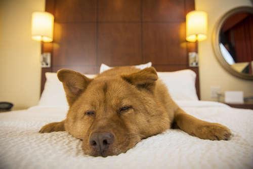 夢の国への旅を愛犬と一緒に♡ あのシェラトンに愛犬と宿泊可能なフロアが誕生