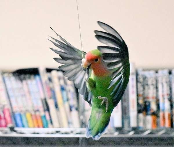 インコが翼を広げて羽ばたく瞬間…! 肉眼では見ることの出来ない『美しさ』に、息を飲む(4枚)
