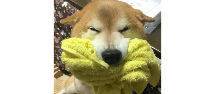【最上級の感情表現♡】嬉しさがMAXになると、笑顔でお口をパンパンにする柴犬が…(*´ェ`*)カワイ