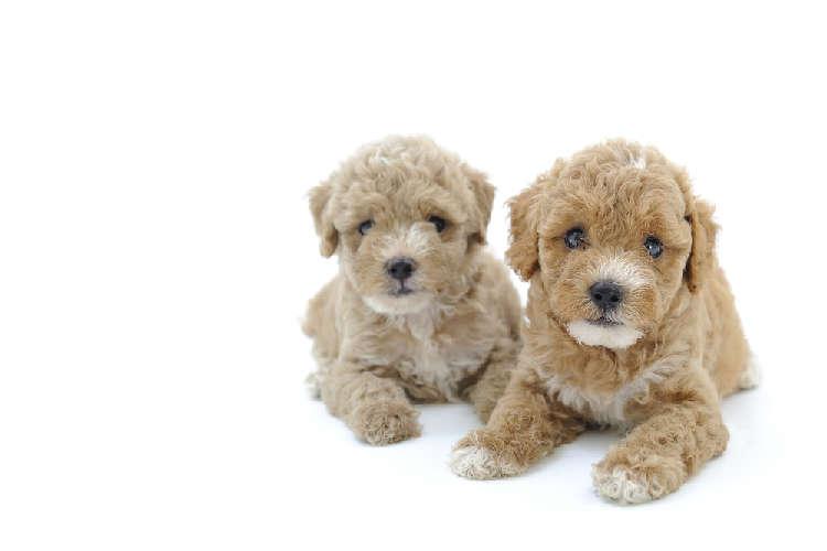 小型犬人気不動の第一位!  『トイプードル』についてのあれこれ