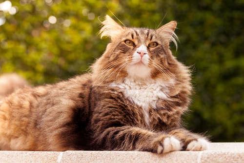 【猫の寿命】メインクーンの寿命について