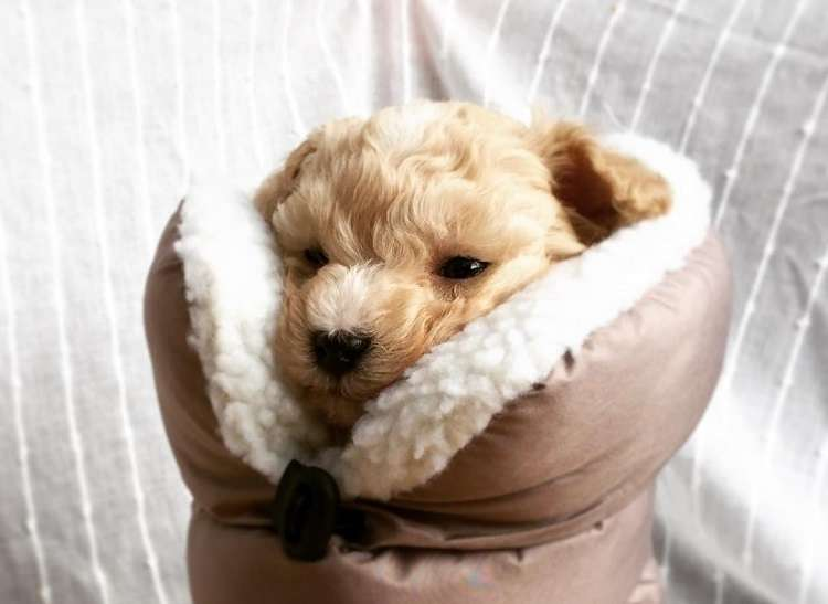 ふわふわブーツの中でくつろぐ子犬 → ぬくぬくが心地よくて、見せたウットリ顔がかわいすぎた♡ 8枚