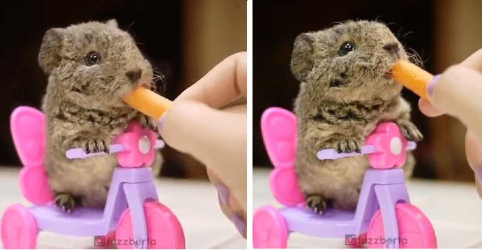 【むしゃむしゃ♡】小さな自転車に乗ってニンジンを食べるモルモット。美味しそうに食べる姿が…♡