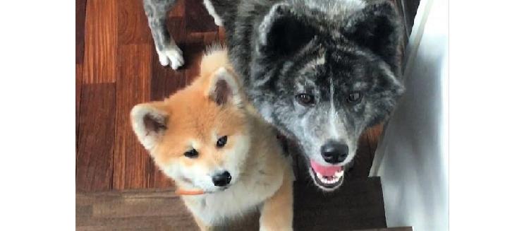 【教えてあげる!】やってきた子犬のお世話をする姉ワンコの優しさに、キュンとする(*´ェ`*) 15枚