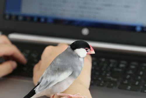 文鳥のイラストフリー素材&PC用壁紙!あなたのPCにも文鳥が♪