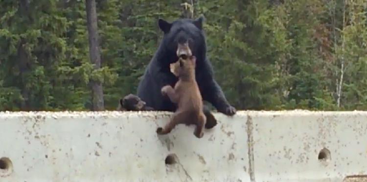 高速道路に飛び出し、立ち往生してしまった子グマ。すかさず母グマが身を挺して救助する!