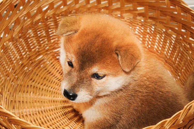 柴犬の三ヶ月目の体重について!