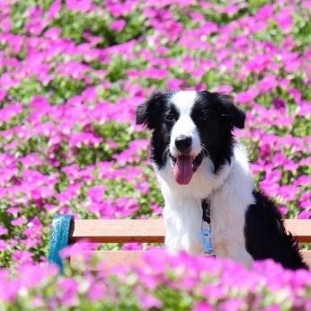 マザー牧場のお花畑〝桃色吐息〟で愛犬の写真を撮ろう