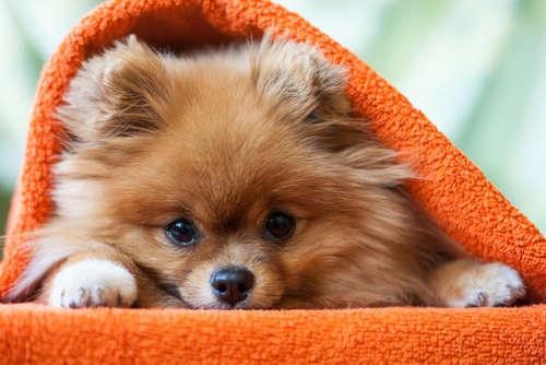 ミックス犬、ポメプーってどんな犬? 特徴や性格は?
