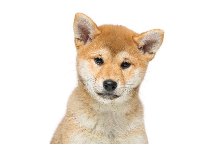 4ヶ月目の柴犬、その体重ってどのくらい?