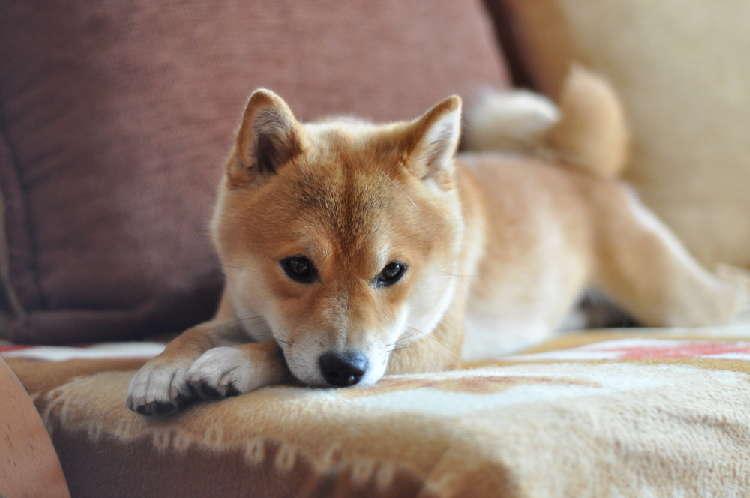 5ヶ月目の柴犬の体重はどのくらい?