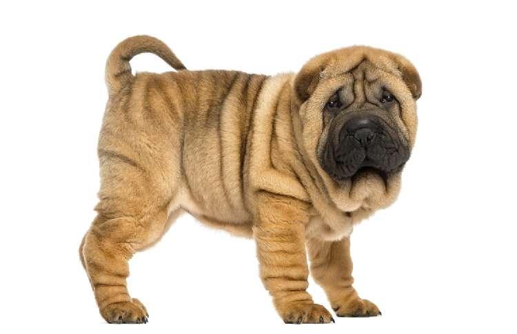 シャーペイ、パグ、ブルドッグ! 世界のブサかわ犬写真集!