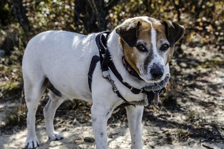 画像で見るジャックラッセルテリアとの可愛いミックス犬特集
