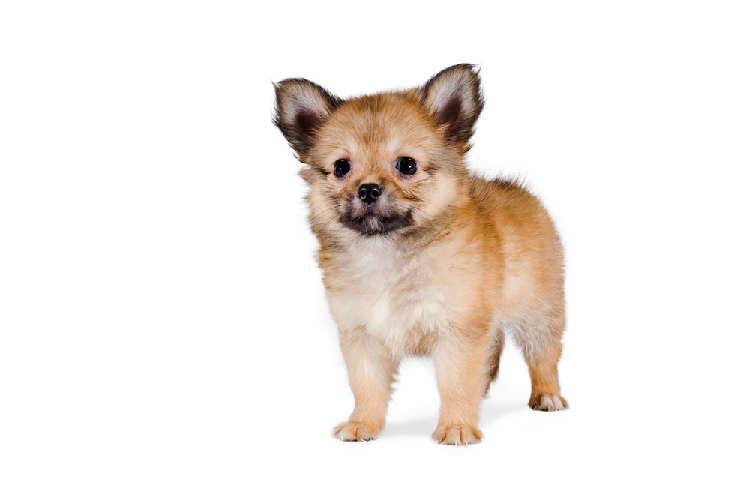 人気のミックス犬、 チワワ×ポメラニアンの性格について