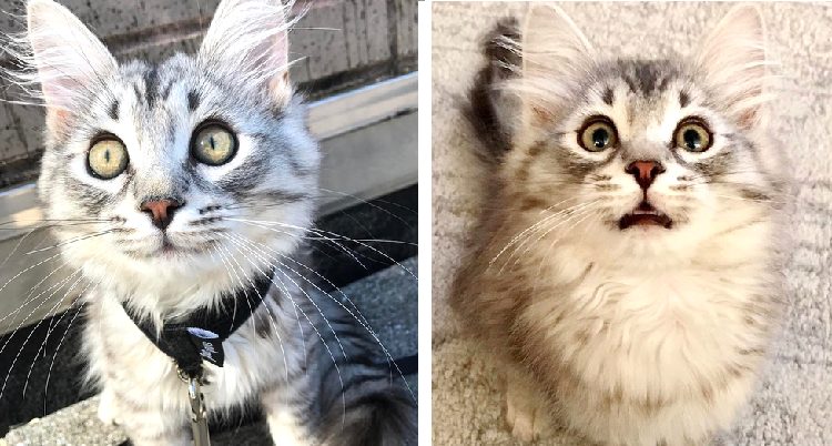 サイベリアンフォレストキャットの子猫レオくん! 愛嬌あふれる表情に、キュンとする写真集♪(10枚)