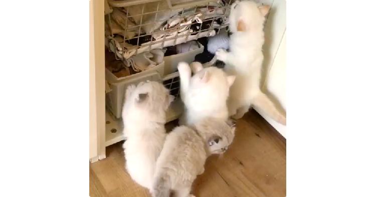 ふかふかの洗濯物の中へ…♡ みんな一緒に洗濯カゴを目指す、子猫たちの可愛すぎる団体行動(*´艸`*)