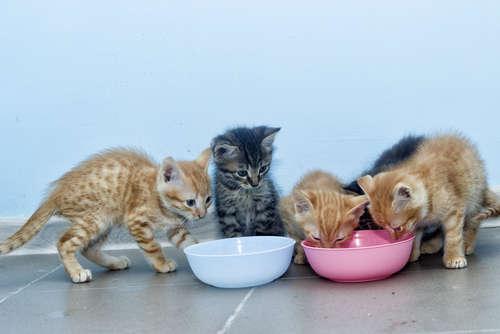 子猫に与える餌の量を知りたい! どれくらい与えればいいの?
