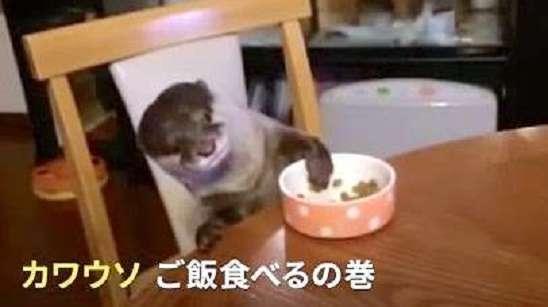 ご飯の時間がしあわせ♡ とっても美味しそうにムシャムシャするカワウソが可愛すぎた…!
