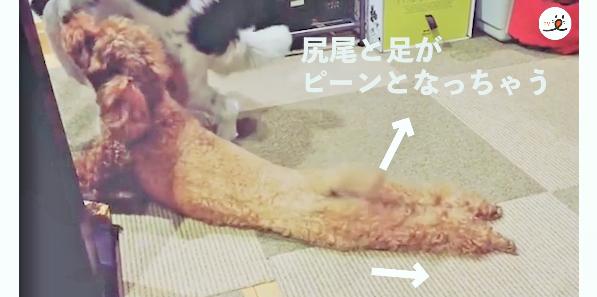 【足と尻尾がピーン♡】飼い主さんのことが大好きなトイプーのおねだり方法が…可愛かった( *´艸`)
