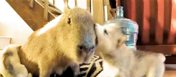 穏やかすぎるオーラで子犬たちに大人気♡ みんなに好かれるカピバラの魅力がわかる60秒(*´艸`*)
