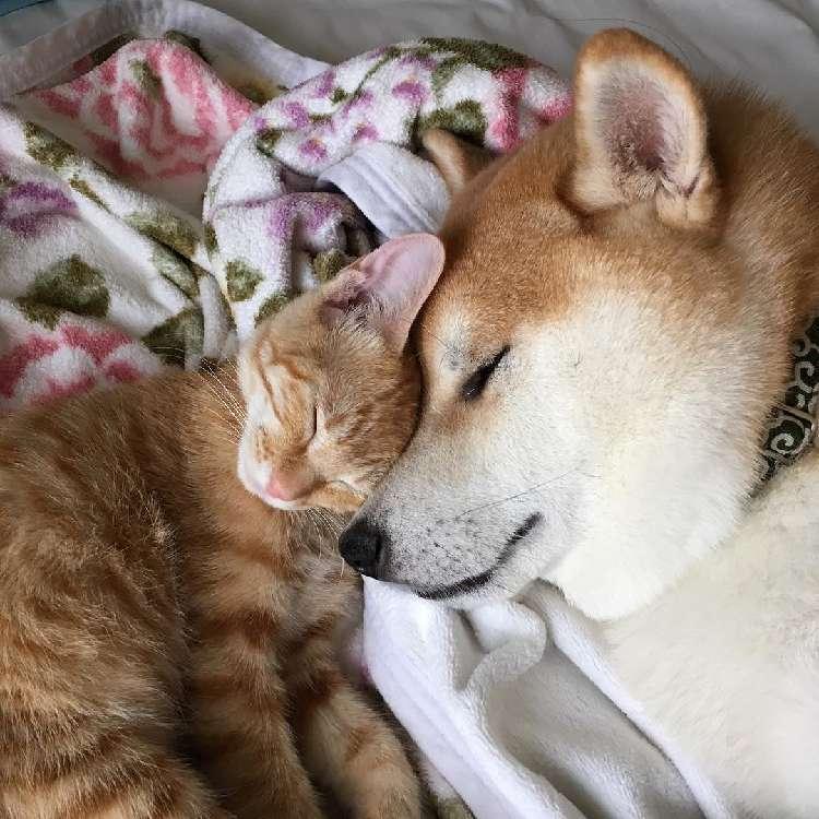 保護された子猫にメロメロになった柴犬! いつも仲良く、寄り添い合う姿に胸がホッコリする♡