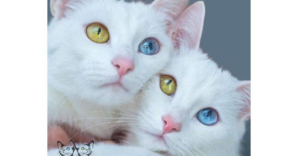 【目の色まで同じ♡】オッドアイの双子の白猫! その美しさに、世界中が息を飲む(10枚)