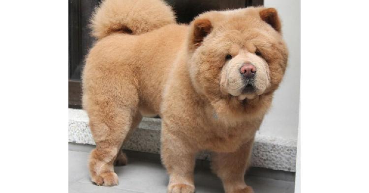 【ボク犬なんです♪】どうみてもクマさんに見える、もこもこのチャウチャウ犬が可愛かった…♡(10枚)