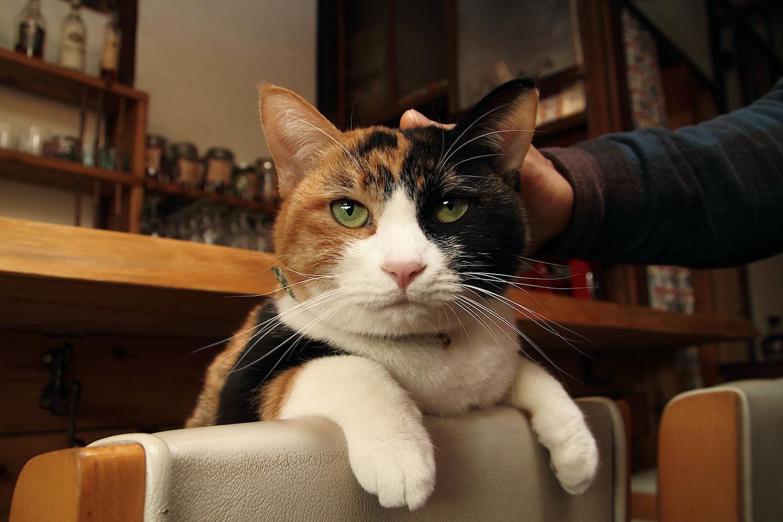 お客さんを虜にしてやまない三毛猫、さくらちゃん(7歳♀)
