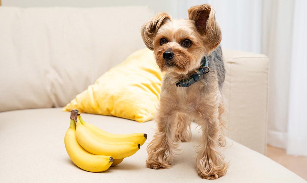 ペットがバナナを食べても大丈夫? バナナの栄養成分とペットへの与え方を獣医師が徹底解説!