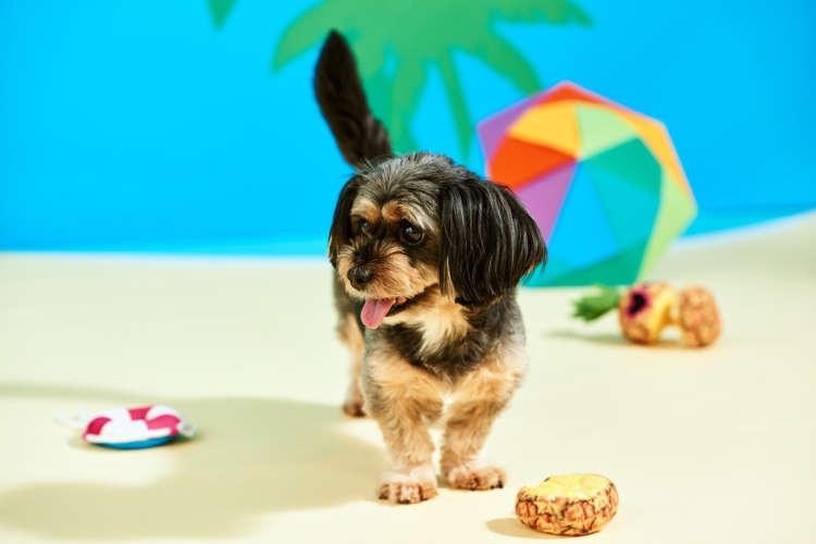 "PECOBOX(ペコボックス)8月号『ビーチリゾート』受付中!  愛犬が喜ぶギフトの""中身""を解説♪"