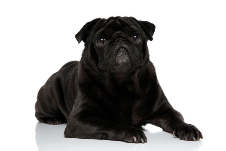 【獣医師監修】犬の去勢のメリットやデメリット、手術方法や時期、リスクと効果、費用は?