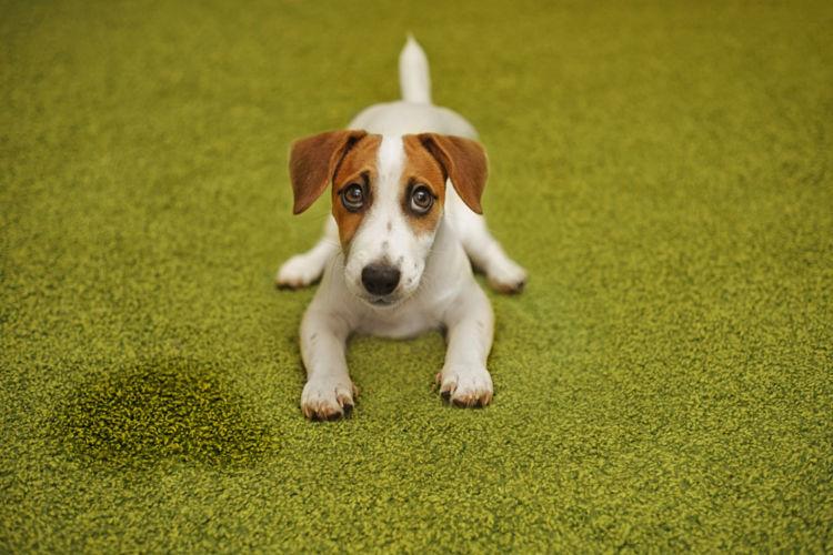 【獣医師監修】犬の「血尿」はストレスが原因?中毒や結石による腎不全での血尿に要注意!