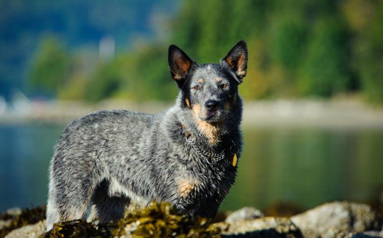 ギネスで最高齢の犬は約30歳も、20歳ならば長寿