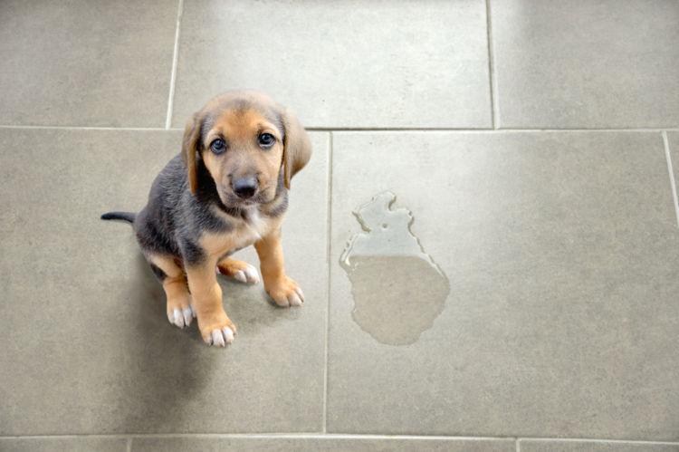 粗相をする愛犬を正しくしつけるコツとは?粗相の「原因」を見極めよう