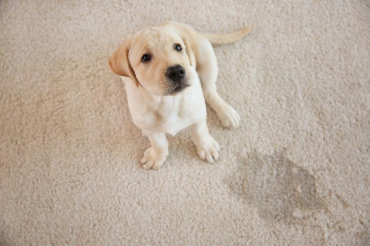 犬のトイレのしつけができない理由
