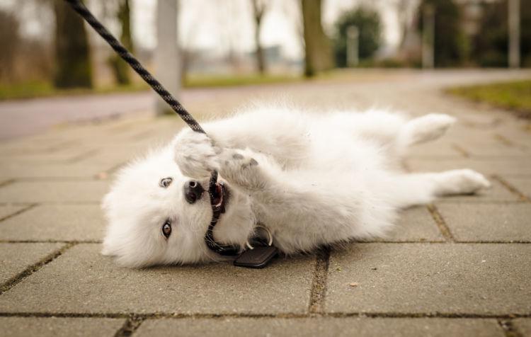 犬がリードを嫌がる・噛む理由