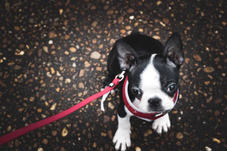 【ボストンテリア】が散歩を嫌がる(歩かない)場合の理由&対処法