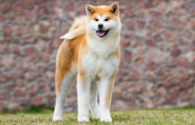 【秋田犬】散歩の役割や必要な運動量は?歩かないときの対処法も